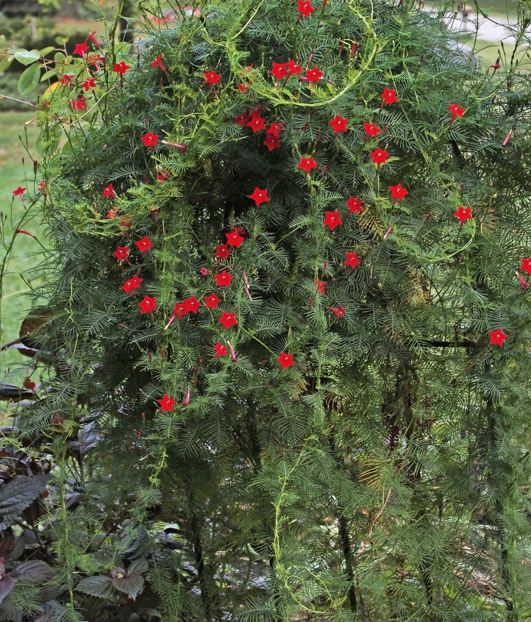 Favorite Flora Cypress Vine Heartlandgardening