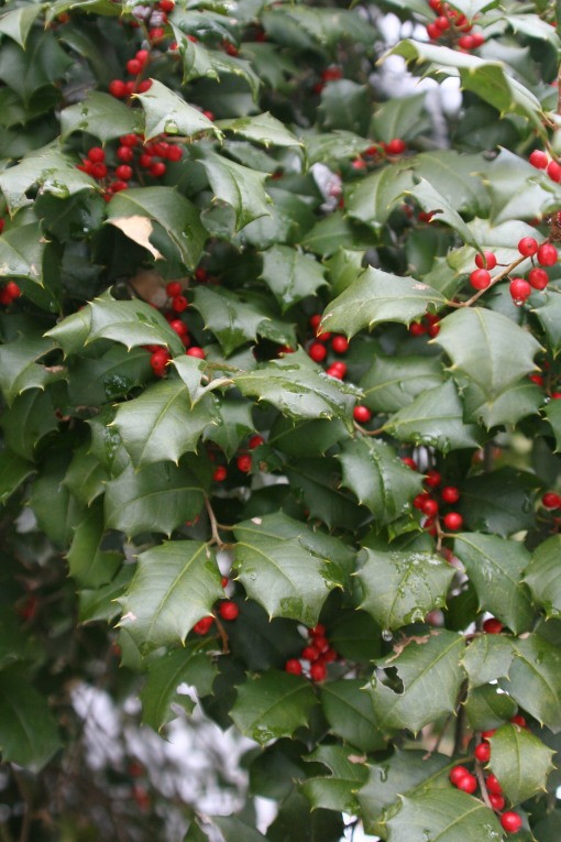 Brilliance American Holly (4)