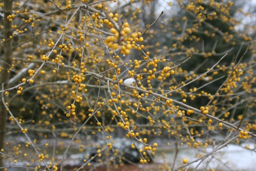 Finch's Gold Possumhaw maybe (3)
