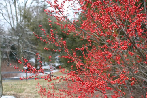 Sparkleberry winterberry (1)