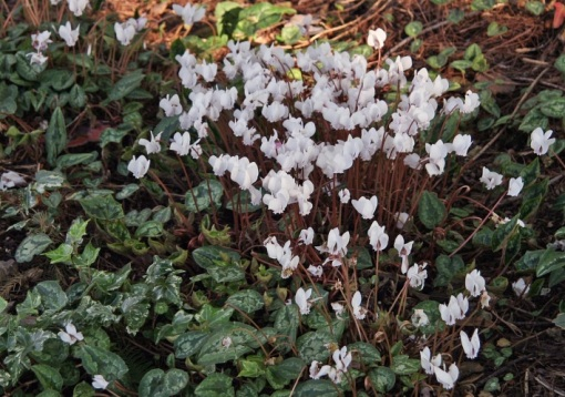 Hardy Cyclamen in October