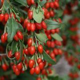 Lycium barbarum (Goji Berry)