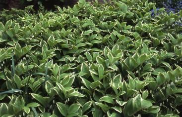 Polygonatum odoratum Variegatum massing resize