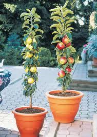Trendspotting: Patio Fruits · Columnar Fruit Trees