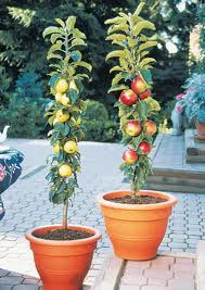 Columnar fruit trees