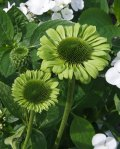 ECGJ_0_Echinacea_Green-Jewel