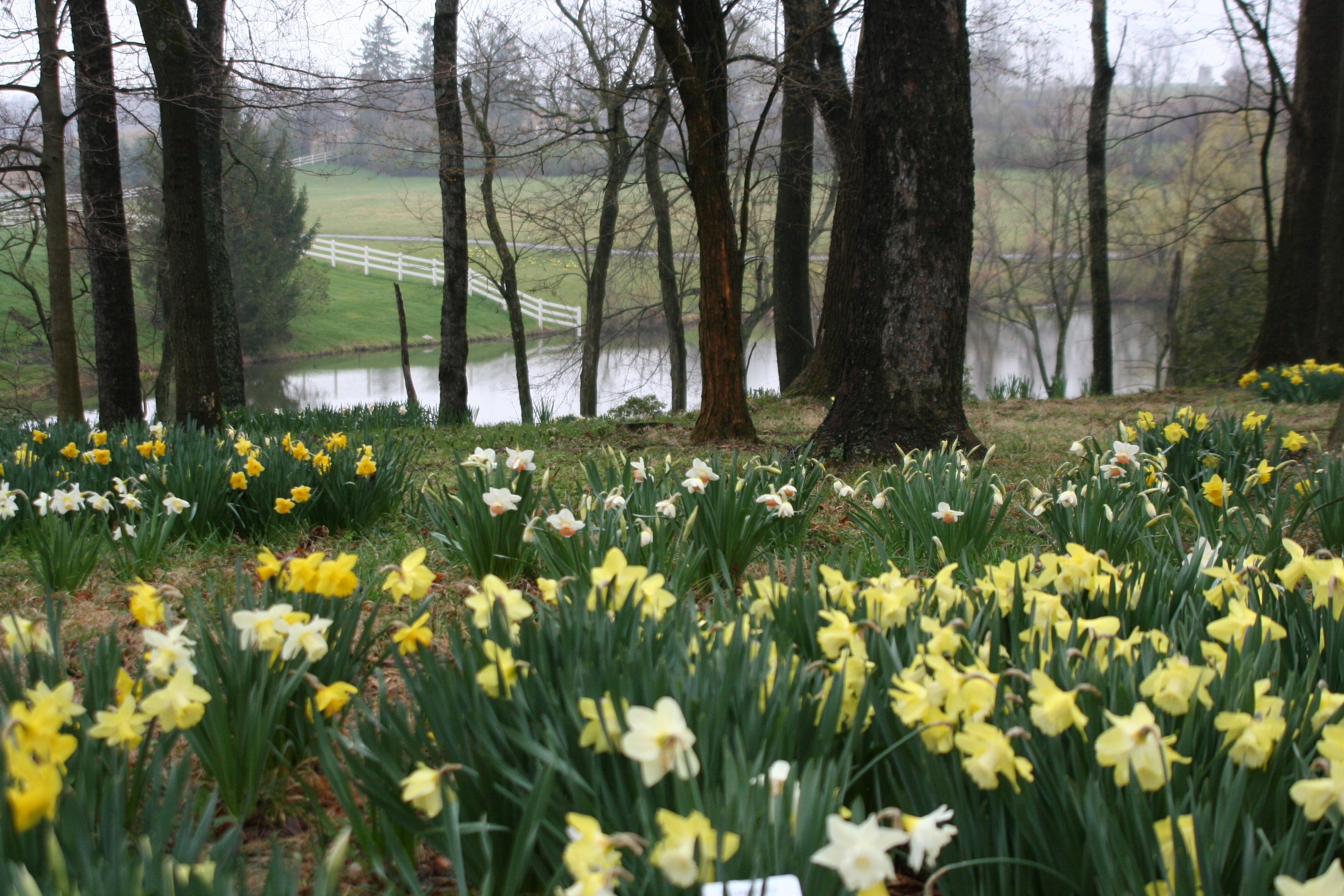 Gardens to drive for daffodils heartlandgardening for Gardening and landscaping