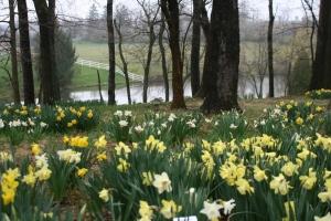 Greisse daffodil garden 017