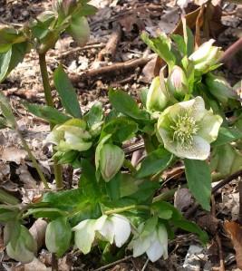Helleborus hybrid crop resize