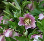 Helleborus spotted Pine Knot Farms 3-25-07 resize