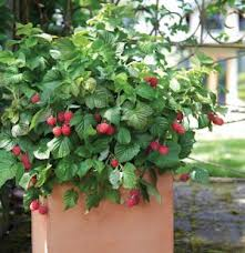 raspberry shortcake brazelberry