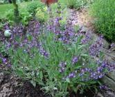 Salvia officinalis 5-24-06 crop resize