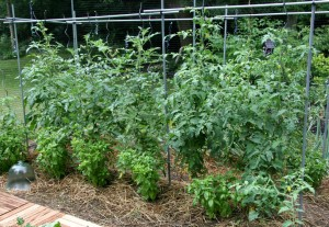 tomato basil combo crop resize