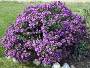 Aster Symphyotrichum purple Dome plant crop resize