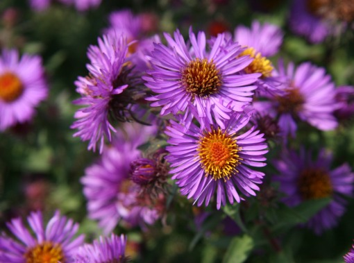 Aster SymphyotrichumPurple Dome flw crop