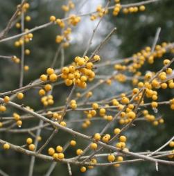 Finch's Gold Possumhaw