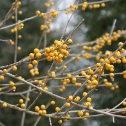 Finch's Gold Possumhaw