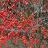 Sparkleberry winterberry (7)