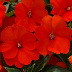 Impatiens 'SunPatiens® Compact Electric Orange'