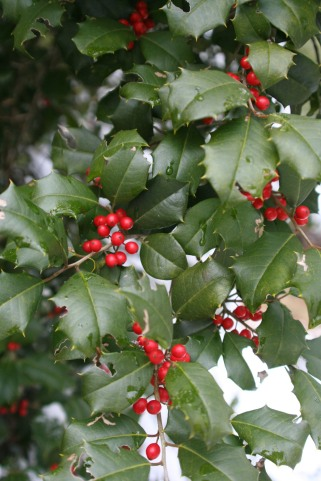 American Holly (Ilex opaca) 'Brilliance'
