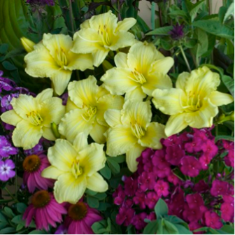 Hemerocallis hybrid, or 'Going Bananas' Daylily; fragrant, bright yellow flower easy to maintain and will pop up in time for summer