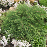 Microbiota decussata, or 'Celtic Pride' Siberian Cypress; diease and deer resistant, great winter color, best planted on slope on our clay soils