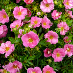 Potentilla, or 'Happy Face Pink Paradise' Bush Cinquefoil; color-lasting, deer resisant eye-catcher