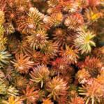 Sedum hakonense, or 'Makino' Sedum; star-like shape, great for planting in rocks