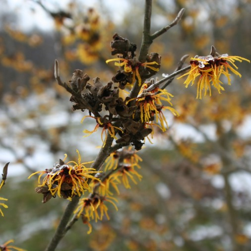 Hamamelis 'Orange Beauty'