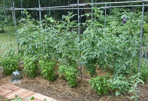 tomato basil combo crop resize 3