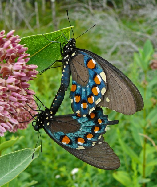 Pipevine Swallowtail Jim McCormac