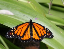 Notice how the color of the monarch is very close to the flower color its primary larval food.