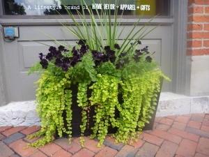 Creeping Jenny -- a great in a container but aggressive in a flower bed