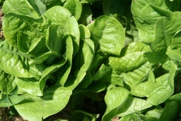 'Buttercrunch' lettuce