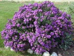 Aster Symphyotrichum Purple Dome