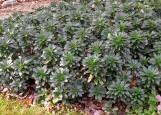 Robb's euphorbia (Euphorbia amygdaloides var. robbiae) is an evergreen groundcover.