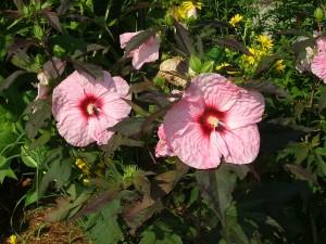 Hibiscus 'Kopper King'
