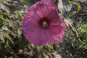 Hibiscus 'Plum-Crazy'