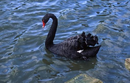 black swan Kew Lake 9-92 crop