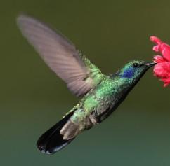 Colibri-thalassinus-001-edit