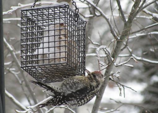downey woodpecker on suet crop
