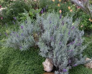 Lav ang. Hidcote Marys garden crop