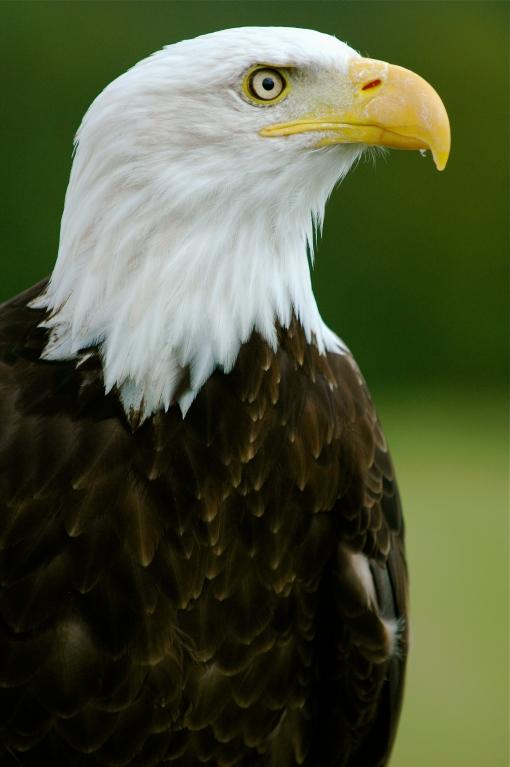 Bald_Eagle_-__Helga__-_Haliaeetus_leucocephalus2