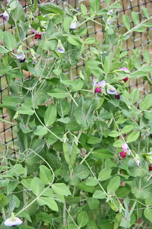 Dwarf Gray Sugar Snow Pea from Johnny's Select Seeds