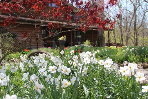 Pheasant's eye daffodils and Japanese maple