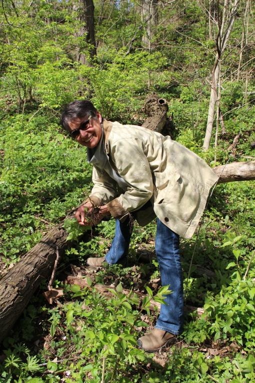 Debra helps pull invasive honeysuckle