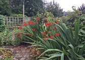 in garden crocosmia 7-9-15
