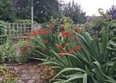 in garden crocosmia 7-9-15