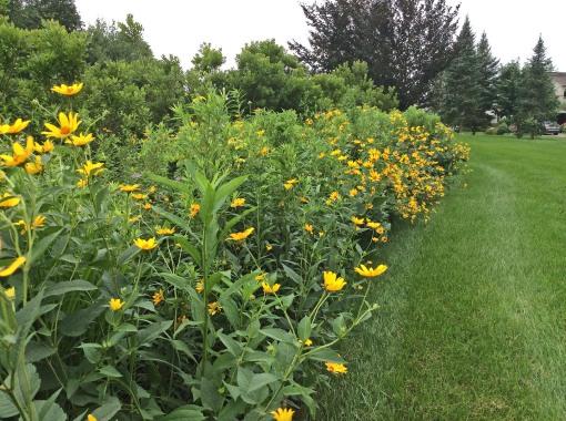 in garden prairie heliopsis 7-9-15