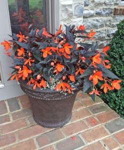 In the garden begonia container 7-9-15